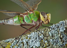 Green dragonfly on branch Royalty Free Stock Photo