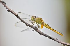 Green Dragonfly on Brown Tree Branch Stock Image