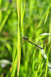 Green dragonfly clings to a blade of grass Stock Photos