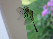 Green Dragonfly on Fence Post Stock Image