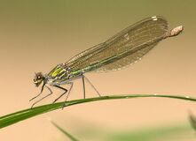 Green Dragonfly on Green Grass Royalty Free Stock Photography