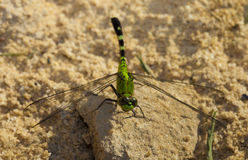 Green dragonfly Royalty Free Stock Photos
