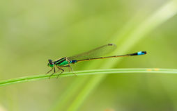 The green dragonfly Stock Image