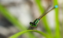 The green dragonfly hold on a grass meadow Royalty Free Stock Photo