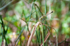 Green dragonfly holding on grass in a forest Royalty Free Stock Image