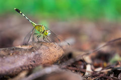 A green dragonfly holding on a tree branch in a forest Stock Photos
