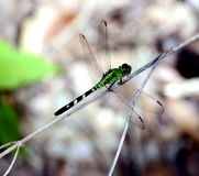Green Dragonfly Royalty Free Stock Image