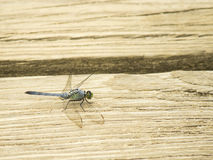 Green dragonfly landing on a board of beige wood, New Jersey, USA Royalty Free Stock Photos