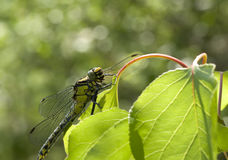 Green dragonfly on a leaf. Stock Photos