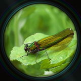 Green dragonfly on leaf in objective lens Royalty Free Stock Image