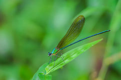 Green dragonfly on leaves. Beautiful dragonfly on leaves with green background Stock Photos