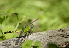 Green dragonfly on log Stock Images