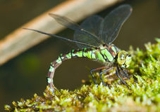 Green dragonfly on moss close Stock Photo