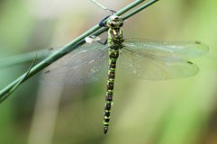 Green dragonfly in a natural environment. Stock Photography