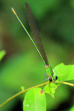 Green dragonfly. In natural garden royalty free stock photography