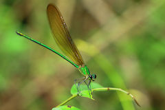 Dragonfly. Green dragonfly in natural garden stock image