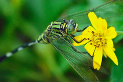 Green dragonfly perch on the yellow flower Stock Image
