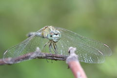 Green Dragonfly Stock Images