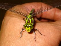 Green Dragonfly on Person Hand Royalty Free Stock Photography
