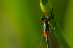 Green dragonfly Royalty Free Stock Images