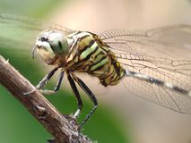Green dragonfly smile. D on dry wooden trunks Royalty Free Stock Photos