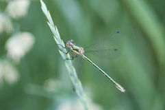 Green Dragonfly on a stalk Stock Photos