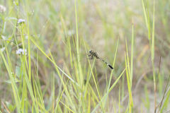 Green Dragonfly Stock Photography
