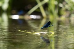 Green dragonfly on the water royalty free stock images