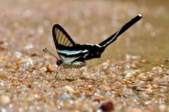 Green dragontail butterfly Royalty Free Stock Photography
