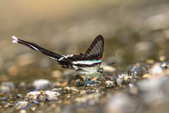 Green dragontail butterfly. Eat minerals on sand Royalty Free Stock Image