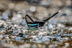 Green dragontail butterfly. Eat minerals on sand Stock Image