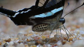 Green Dragontail Butterfly Lamproptera meges Close-up Peeing stock footage