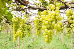 Green druvan på vine royaltyfri fotografi