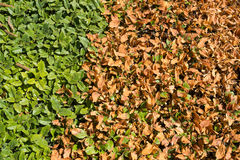 Green and dry hedge Royalty Free Stock Image