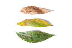 Green and dry leaf full of holes on white background. Green and dry leaf full of holes isolated on white background Stock Photo