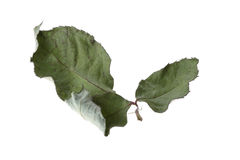Green dry leaf rose flower isolated Royalty Free Stock Photo
