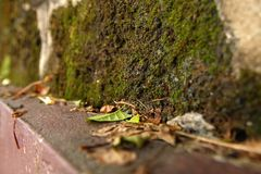 Green and dry yellow autumn leaves on a background of bricks wall with moss. Green and dry yellow autumn leaves on a background of red bricks wall with moss stock photos