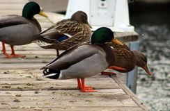 Green duck drake mallard swimming in Lake Charlevoix Michigan. Beautiful ducks Stock Photo
