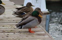 Green duck drake mallard swimming in Lake Charlevoix Michigan. Beautiful ducks Royalty Free Stock Images