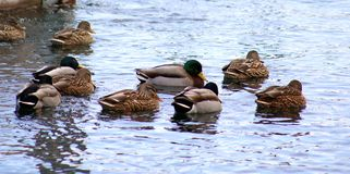 Green duck drake mallard swimming in Lake Charlevoix Michigan. Beautiful ducks Royalty Free Stock Photo