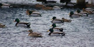 Green duck drake mallard swimming in Lake Charlevoix Michigan. Beautiful ducks Stock Photos