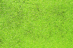 Green duckweed Stock Photo