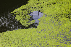 Green duckweed background Royalty Free Stock Images