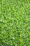 Green duckweed Stock Photos