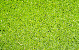 Green duckweed cover the water, use for background, closeup view. Stock Photo