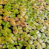 Green duckweed Lemnoideae in a pond in the sunny day, close up image