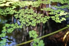 Green duckweed natural on water. Green uckweed natural on water background Stock Photos