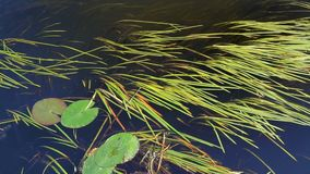 Duckweed on river. Green duckweed on river in summer close up stock video footage