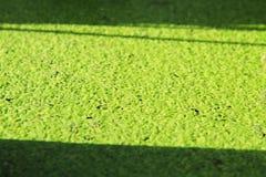 Green duckweed Stock Photography