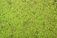 Green duckweed texture Stock Images